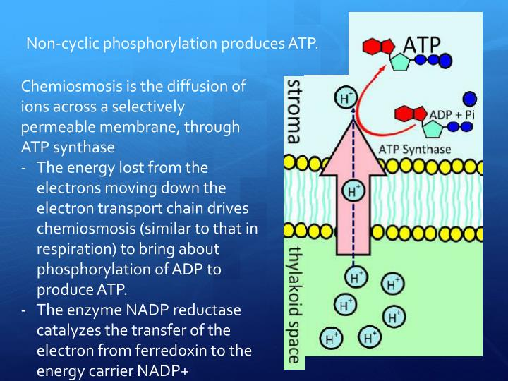 Non-cyclic phosphorylation produces ATP.