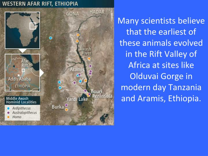 Many scientists believe that the earliest of these animals evolved in the Rift Valley of Africa at sites like Olduvai Gorge in modern day Tanzania and