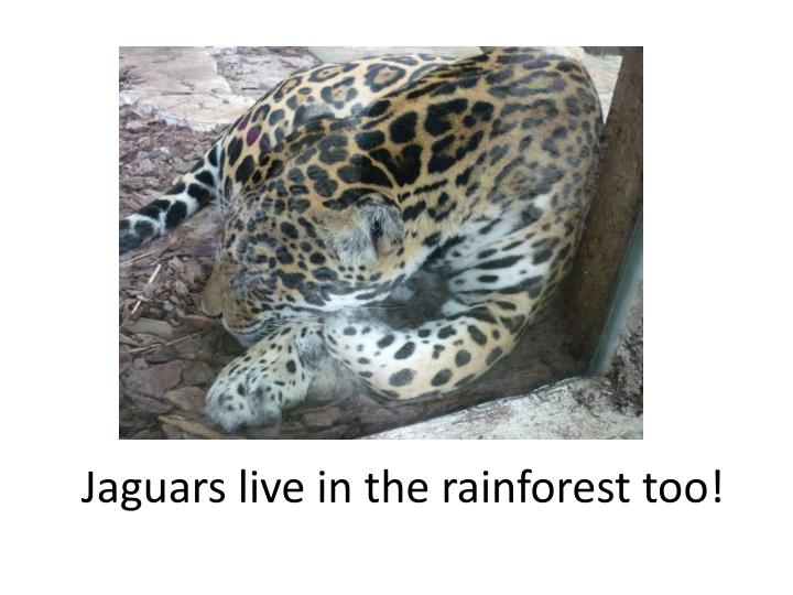 Jaguars live in the rainforest too!