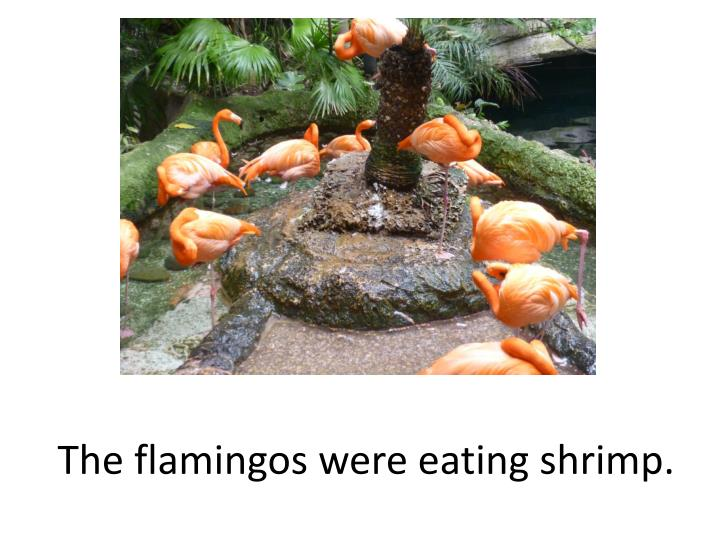 The flamingos were eating shrimp.