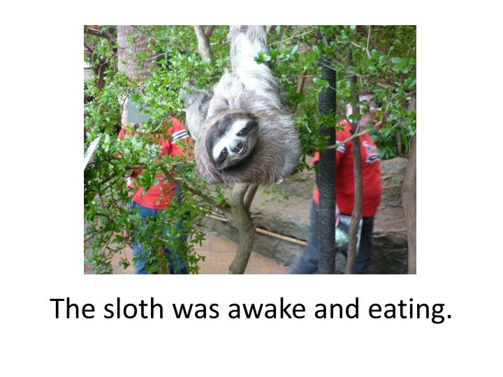 The sloth was awake and eating.