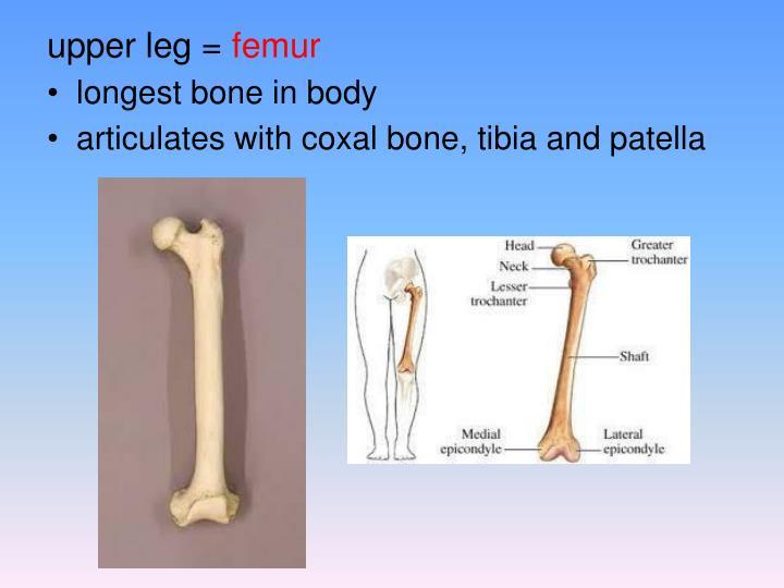 upper leg =