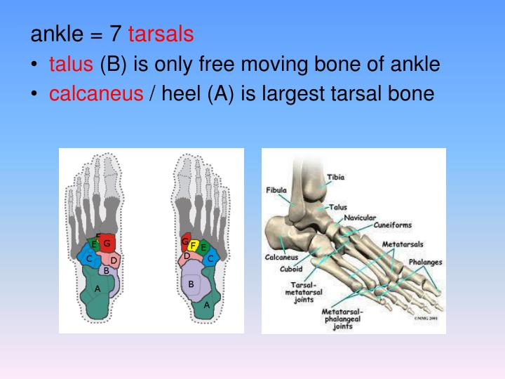 ankle = 7