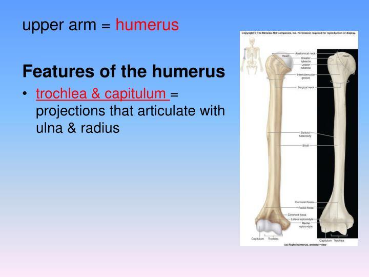 upper arm =