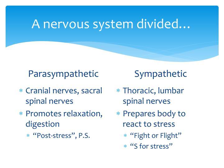 A nervous system divided…