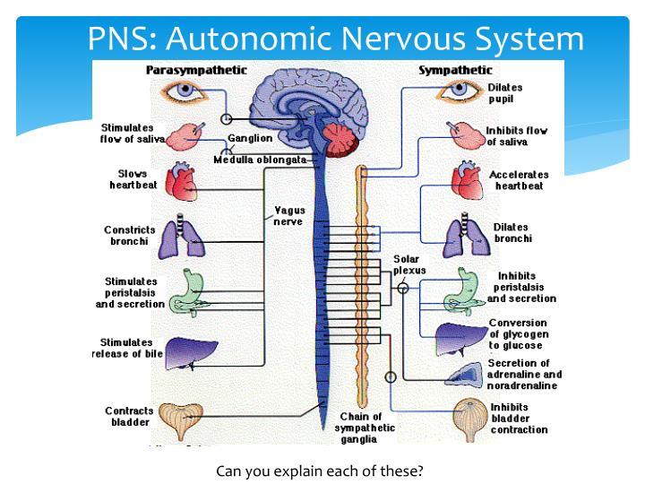 PNS: Autonomic Nervous System