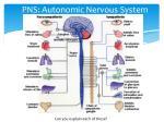 pns autonomic nervous system