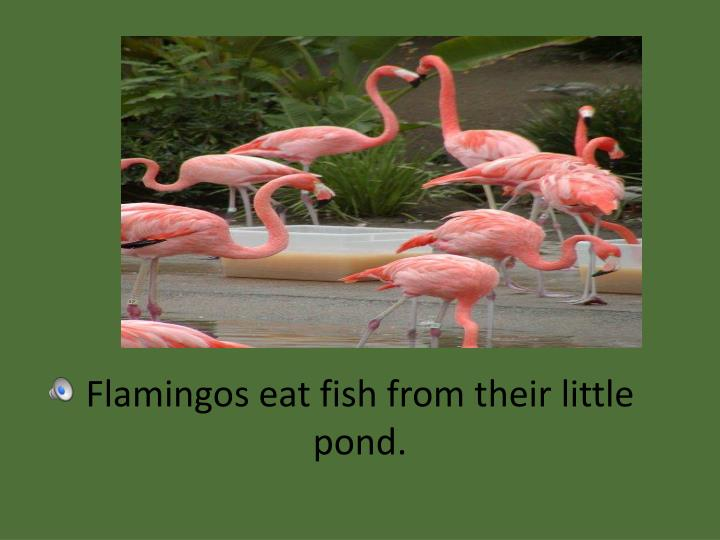 Flamingos eat fish from their little pond.