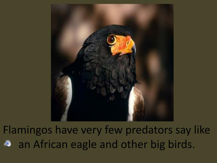Flamingos have very few predators say like an African eagle and other big birds.