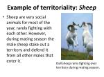 example of territoriality sheep