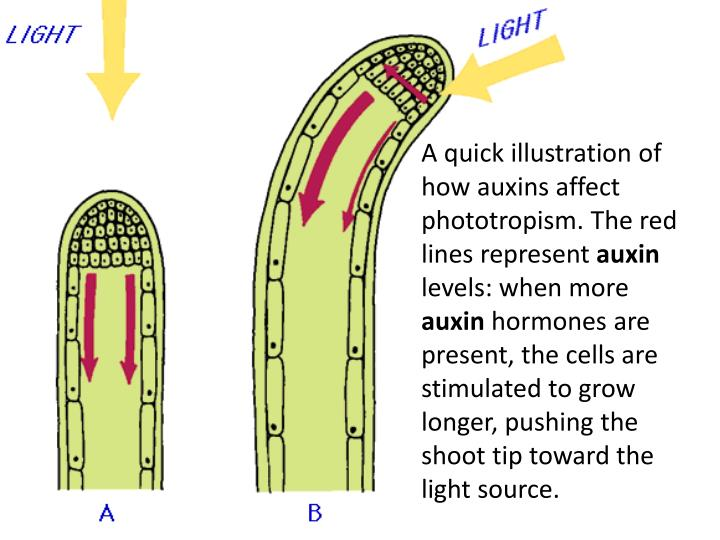 A quick illustration of how auxins affect phototropism. The red lines represent