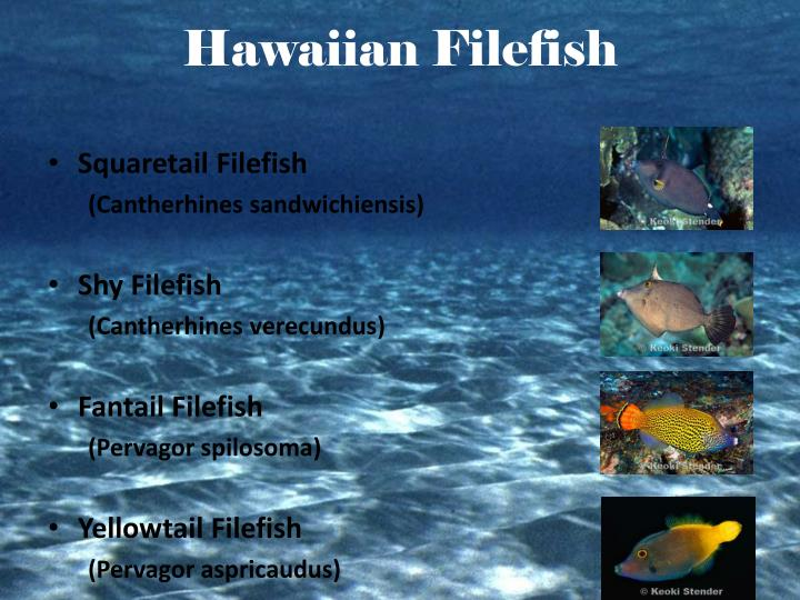 Hawaiian Filefish