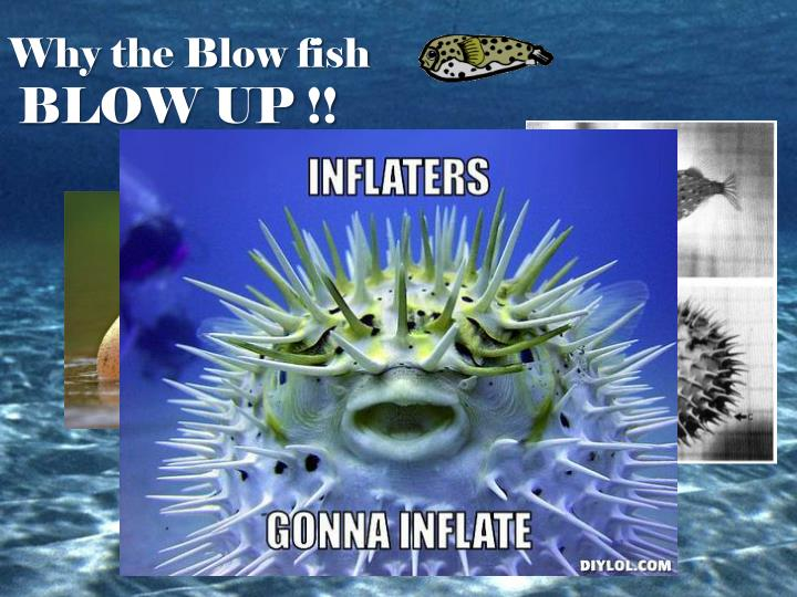 Why the Blow fish