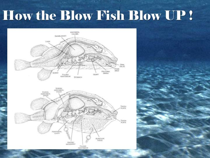 How the Blow Fish Blow UP !