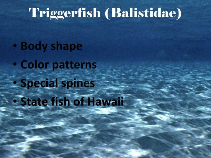 Triggerfish (