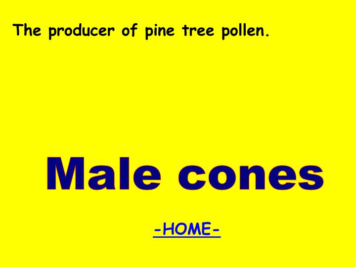 The producer of pine tree pollen.