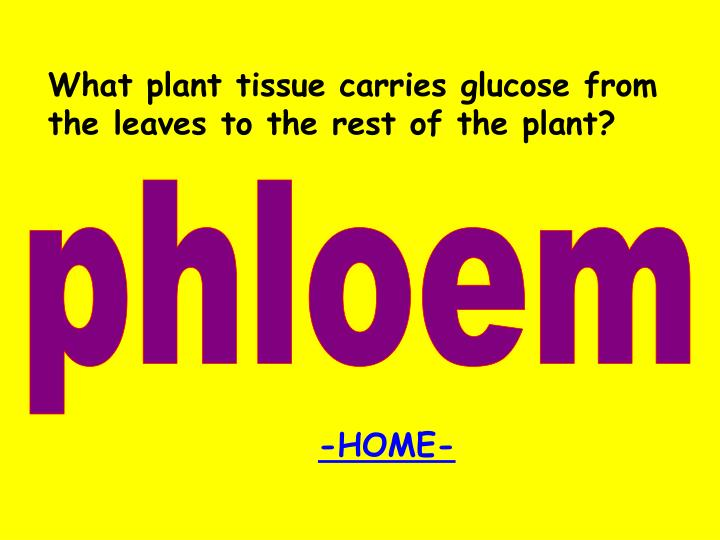 What plant tissue carries glucose from