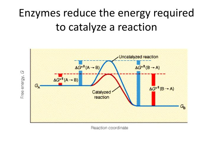 Enzymes reduce the energy required to catalyze a reaction