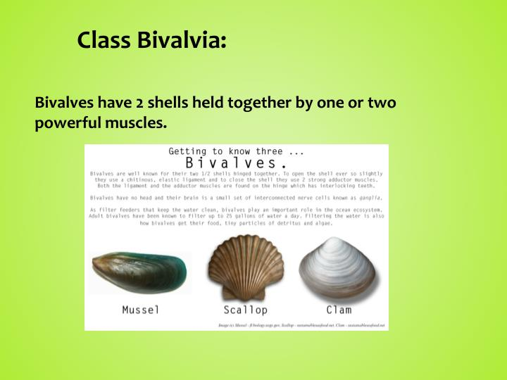 Class Bivalvia: