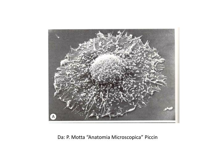 """Da: P. Motta """"Anatomia Microscopica"""" Piccin"""