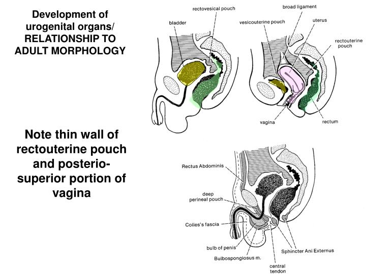 Development of urogenital organs/ RELATIONSHIP TO ADULT MORPHOLOGY