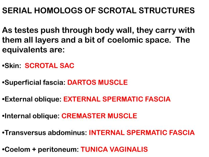 SERIAL HOMOLOGS OF SCROTAL STRUCTURES