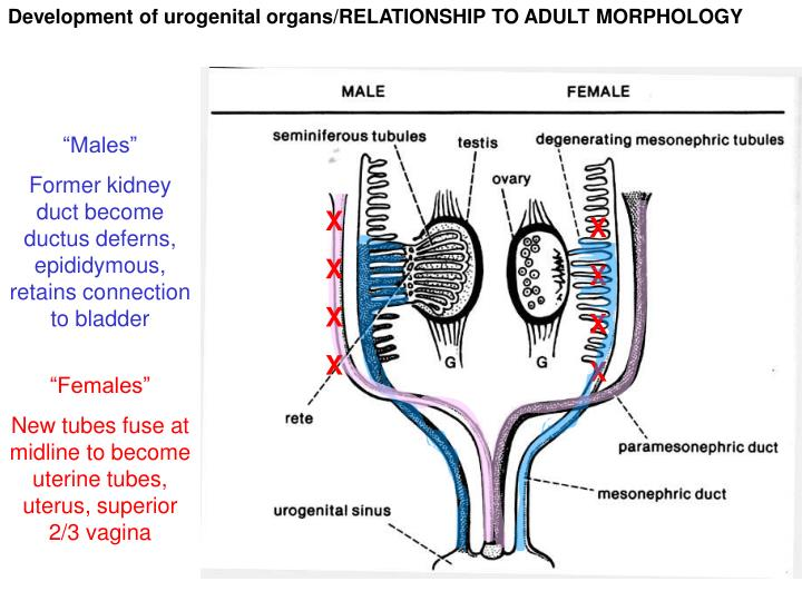 Development of urogenital organs/RELATIONSHIP TO ADULT MORPHOLOGY