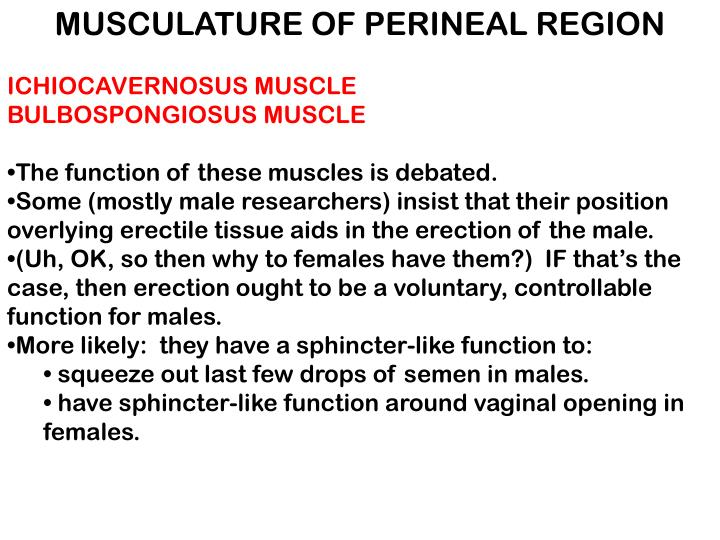 MUSCULATURE OF PERINEAL REGION