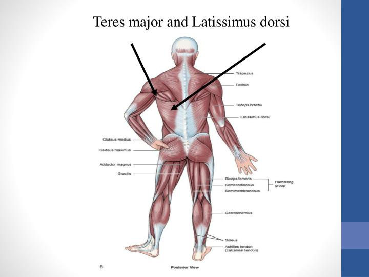 Teres major and Latissimus dorsi