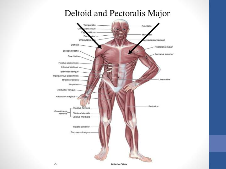 Deltoid and