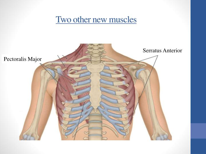 Two other new muscles