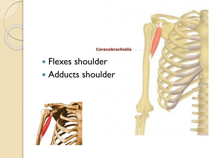 Flexes shoulder
