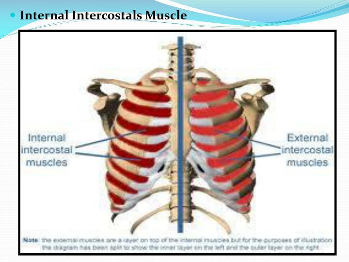 Internal Intercostals Muscle