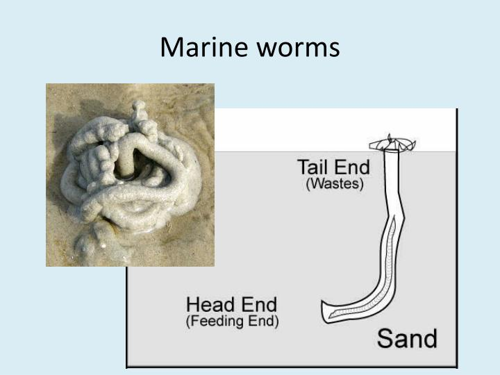 Marine worms