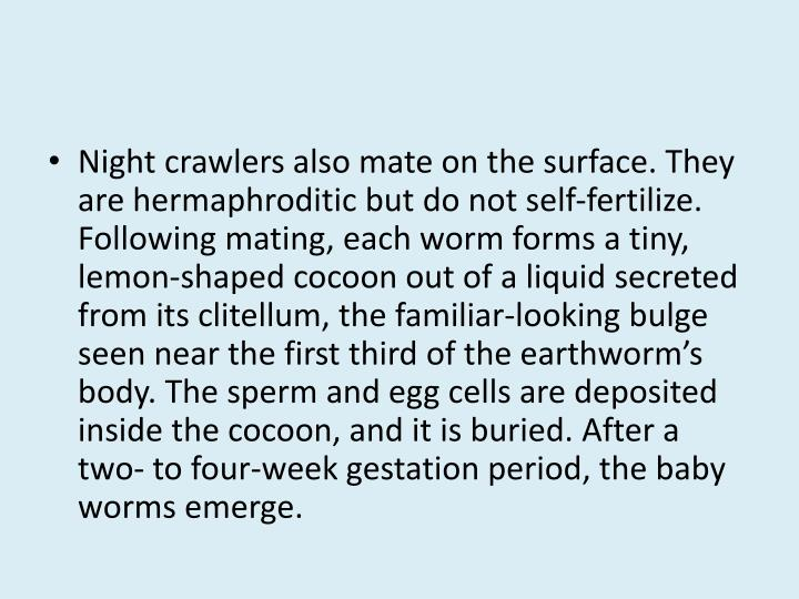 Night crawlers also mate on the surface. They are hermaphroditic but do not self-fertilize. Following mating, each worm forms a tiny, lemon-shaped cocoon out of a liquid secreted from its