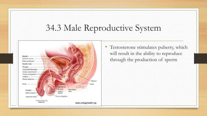 34 3 male reproductive system
