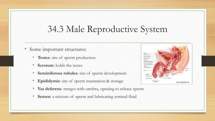 34.3 Male Reproductive System