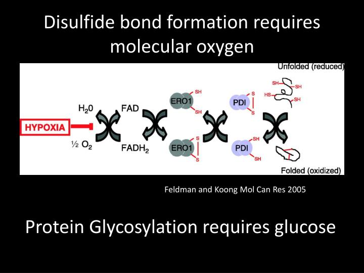 Disulfide bond formation requires molecular oxygen