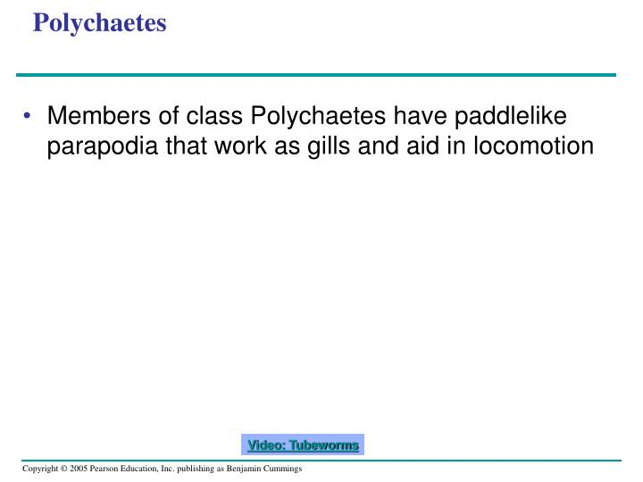 Polychaetes