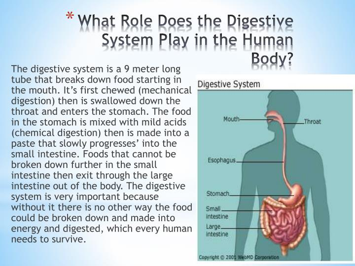 The digestive system is a 9 meter long tube that breaks down food starting in the