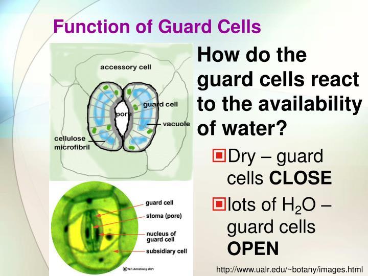 relationship between lenticels stomata guard cells