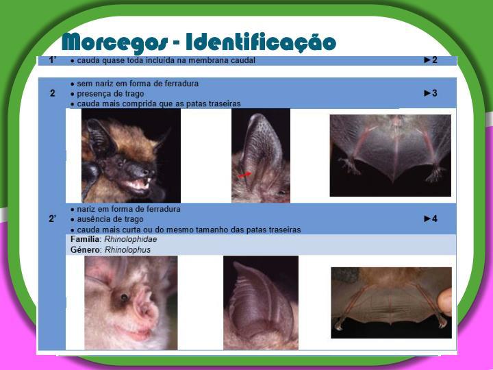 Morcegos - Identificação