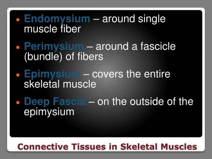 Endomysium