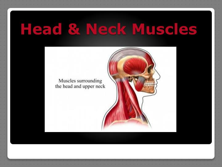 Head & Neck Muscles