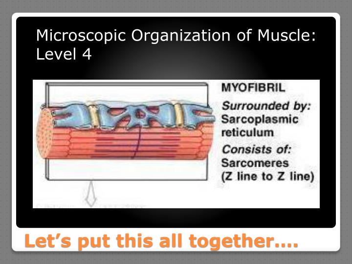Microscopic Organization of Muscle: