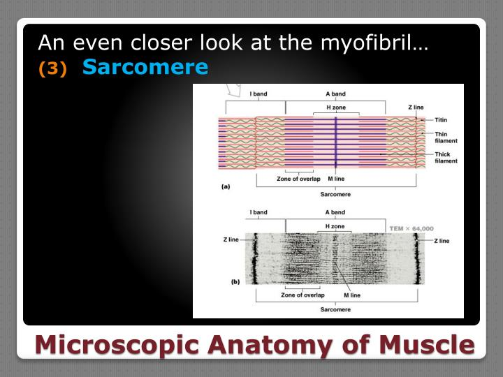 An even closer look at the myofibril…