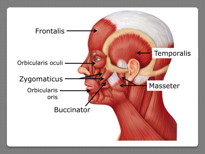 Frontalis