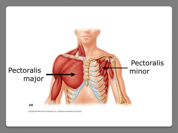 Pectoralis