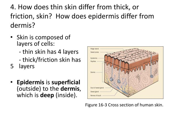 4. How does thin skin differ from thick, or friction, skin?  How does epidermis differ from dermis?