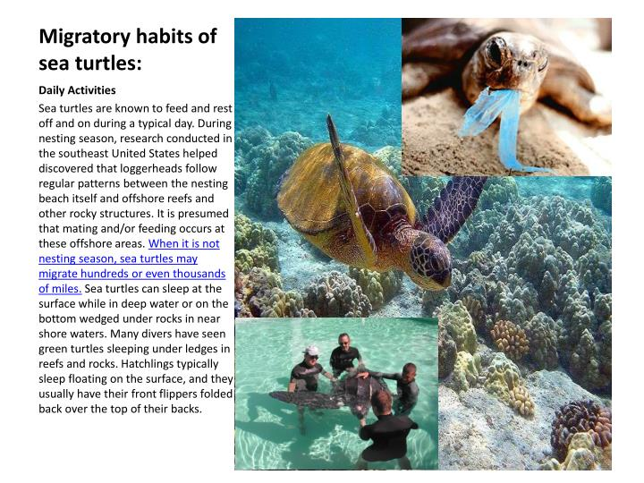 Migratory habits of sea turtles: